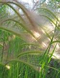 Ячмень лисохвоста Стоковое фото RF
