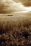 Ячмень/пшеничное поле & бурный Sepia небес Стоковые Фото