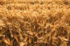 ячмень fields золотистое Стоковое Фото