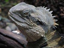 Ящерица, Австралия Стоковые Фото