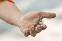 Ящерица агамы бабочки (Leiolepis Cuvier) в руке стоковые фотографии rf