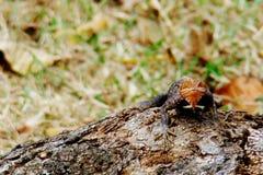 Ящерица агамы на дереве Стоковые Фотографии RF