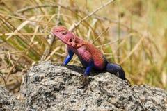 ящерица агамы Паук-человека Стоковое Изображение RF