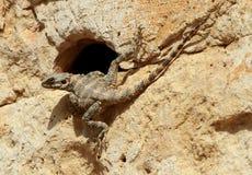 ящерица агамы Стоковые Изображения RF