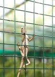 ящерица агамы Стоковое Изображение