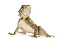 ящерица агамы Стоковое Фото