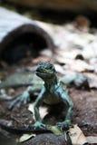 ящерица аквариума животных одичалая Стоковое Изображение RF
