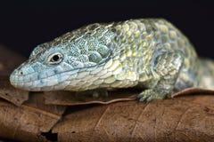 Ящерица аллигатора Mixtecan arboreal (mixteca Abronia) стоковые фотографии rf