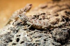 Ящерица Брайна сидя на коричневом камне стоковое изображение