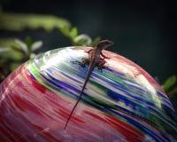 Ящерица Брайна Anole на красочном стеклянном глобусе Стоковое Изображение RF
