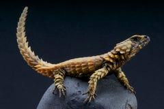 Ящерица броненосца/cataphractus Cordylus Стоковые Изображения