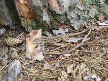 Ящерица в лесе Стоковая Фотография RF