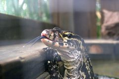 Ящерица в клетке flicks свой язык на камере стоковое фото rf