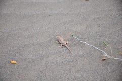 Ящерица в маскировке Стоковое Фото