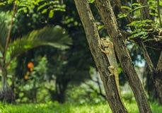 Ящерица в одичалом narute Стоковое Изображение RF