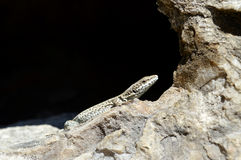 Ящерица в Солнце Стоковые Фото