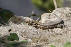 Ящерица в Тенерифе, Испании Стоковое Изображение