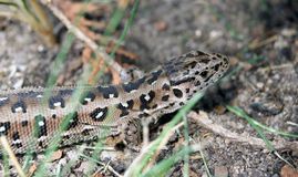 Ящерица в траве Стоковая Фотография RF
