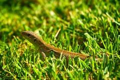 Ящерица в траве Стоковые Изображения RF