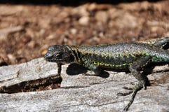 Ящерица в Reserva El Cani, около Pucon, Чили Стоковое Изображение RF