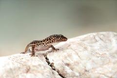 Ящерица гекконовых на утесах Стоковое Изображение RF