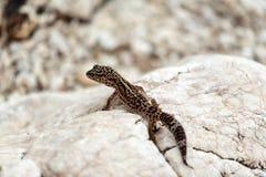 Ящерица гекконовых на утесах Стоковое Фото