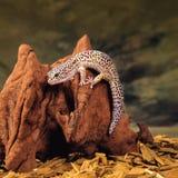 Ящерица гекконовых Стоковое Изображение RF