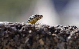 Ящерица 011 гекконовых Стоковое Изображение RF