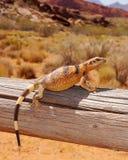 Ящерица греясь в солнце пустыни Стоковая Фотография RF
