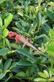 ящерица джунглей стоковое фото