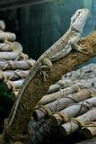Ящерица дракона rankin отдыхает на ветви в terrarium стоковое изображение