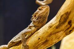 Ящерица лежа na górze ветви Стоковые Изображения RF