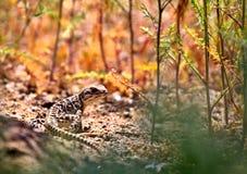 Ящерица леопарда Lucking Стоковая Фотография RF