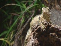 Ящерица держа вахту Стоковая Фотография RF