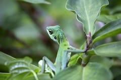 Ящерица джунглей Стоковое фото RF