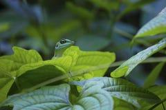 Ящерица джунглей Стоковое Изображение RF