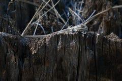Ящерица загородки на пне Стоковая Фотография