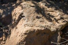 ящерица загородки западная Стоковое Изображение