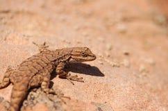Ящерица загородки льнет к песчанику в Юте Стоковые Фотографии RF