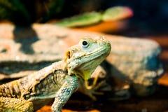 ящерица игуаны в природе Стоковая Фотография