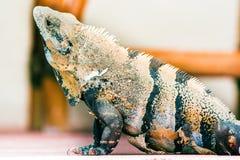 Ящерица игуаны, текстура кожи Животный профиль Стоковое Изображение