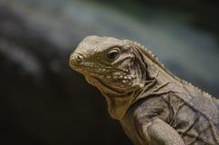 Ящерица игуаны стоковые изображения rf