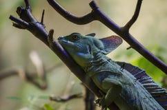 Ящерица игуаны Стоковое Фото