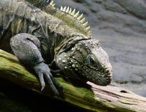 Ящерица игуаны Стоковая Фотография