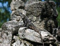 ящерица игуаны cozumel Стоковое Фото