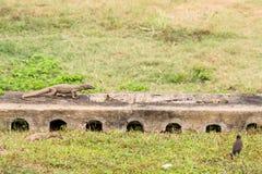 2 ящерица и ворона Стоковая Фотография