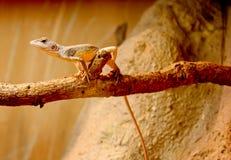 Ящерица к ветви Стоковое Изображение