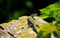 ящерица малая Стоковые Изображения RF