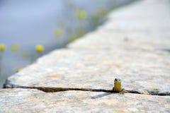 Ящерица Мальты Стоковое Изображение