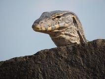 Ящерица монитора воды Стоковые Фото